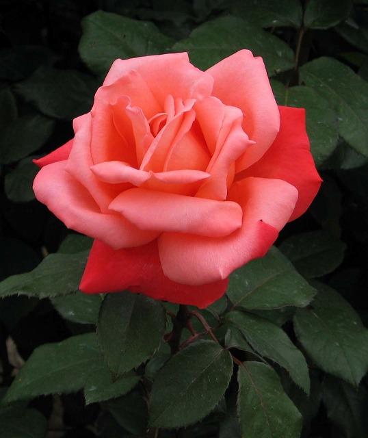 薔薇の画像 p1_23