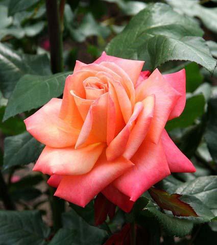薔薇の画像 p1_17