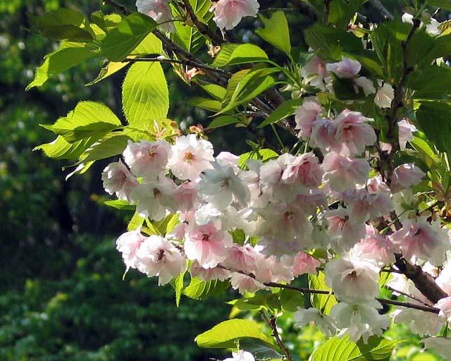 桜・万里香