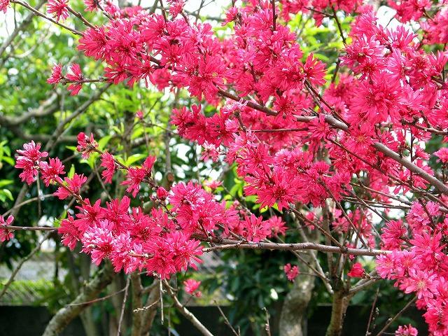 桃 花桃・京舞妓 2004-4-11 神奈川県立フラワーセンター大船植物園... 桃