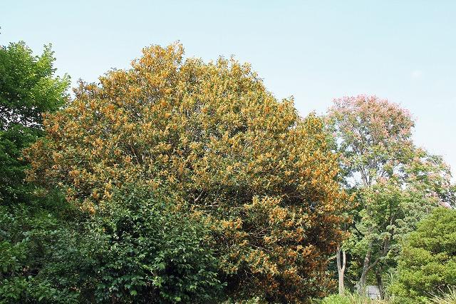 キンモクセイの画像 p1_32